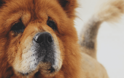 Is een Chow Chow agressief?