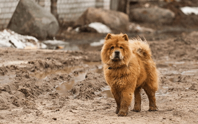 De Chow Chow puppy